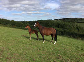 Oldenburg broodmare with great breeding