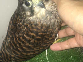 Young Male Kestrel