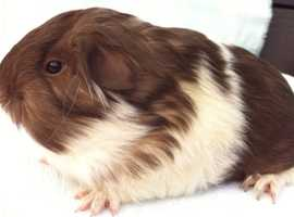 Longhaired Baby Male Guinea Pigs
