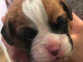 KC Bobtail Boxer Puppies