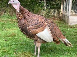 red Bourbon turkey stag