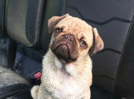 KC Male Pug for Sale