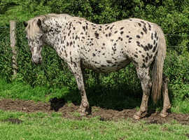British Spotted Brood Mares