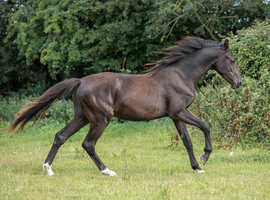 Super Dressage Quality Rising 2 Colt