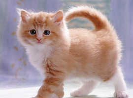Ginger kitten wanted for £20