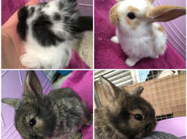 Friendly mini lops x lionhead baby rabbits for sale