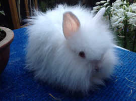 STUNNING ANGORA X DOUBLE LION HEAD BABY
