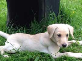 KC Registered Labrador pup for sale