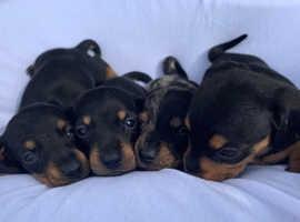 BEAUTIFUL MINIATURE DACHSHUND PUPPIES DAPPLE BLACK AND TAN (Really Small)