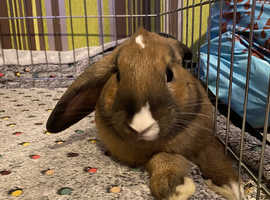 2 male lop bunnies for sale