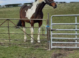Quality coloured mare