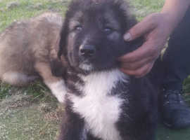Caucasian shepherd pups for sale
