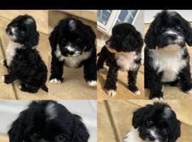 Cockapoo puppies (6)