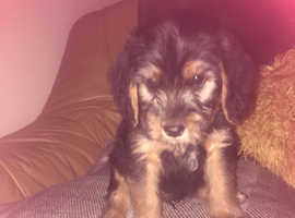 Schnoodle cross puppy