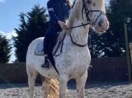 Beautiful spotty horse for sale