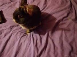 One male Netherlands dawf bunny