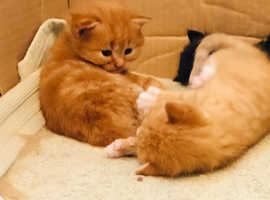 Beautiful maincoon x ginger kittens for sale