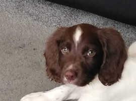 14 week old English Springer Spaniel puppy