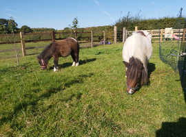 Registered Miniture Shetland mare and foal