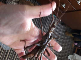 Phillipino stick insects