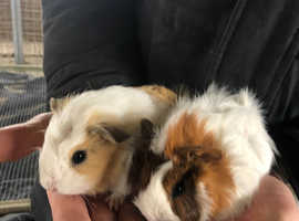 Two baby boar guinea pigs