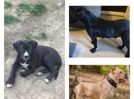 Cane corso puppy available
