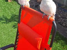 Ducorps cockatoo
