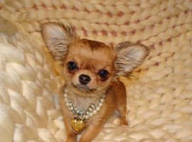 XXXXXXXS Micro Tiny KC Registered Sable & White Long Haired Chihuahua Girl Puppy