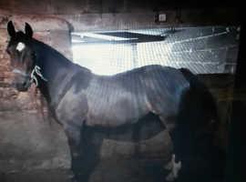 Pretty mare, cob type, 15' 3hh. dark bay.