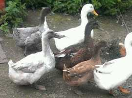 Pair of Rouen Ducks and a pair of Aylesbury x Swedish Blue Ducks