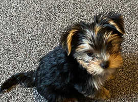 Toy miniature Yorkshire terrier