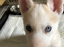 Husky x Malamute Puppy For Sale