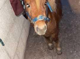 Shetland colt for sale
