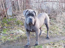 9 MONTH OLD BLUE CANE CORSO BOY. PROBABLY THE BEST IN THE UK.