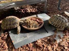 Hermanns Tortoise Males - Breeding Age - Original Paperwork