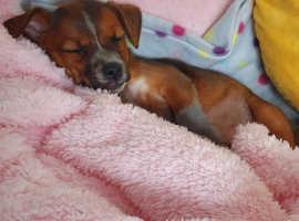 Girl puppy chihuahua x