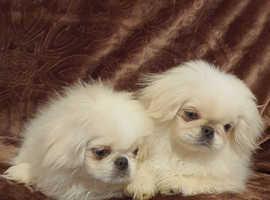 Pekingese puppies girls