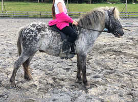 Outstanding miniature spotted gelding