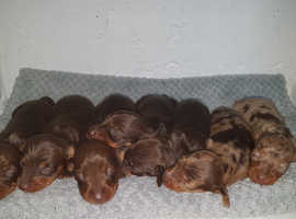 Dachshund Dogs & Puppies For Sale & Rehome in Cardiff | Find Dogs