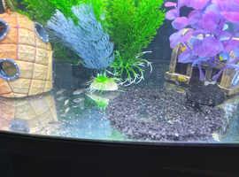 Kirbensis fish