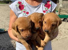 Stunning litter of KC Fox Red Labrador puppies.