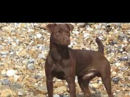 WANTED poor smooth coat chocolate patterdale