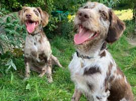 Rare Merle Labradoodle Puppies DUE