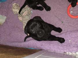 Labrador bitch pup for sale