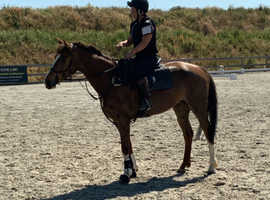 STUNNING WB 16.1hh LIVER CHESTNUT 5yrs MARE