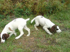 Labrador Springer or cocker spaniel wanted