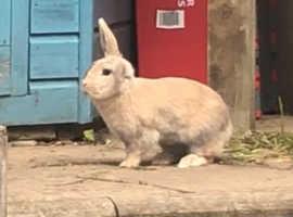 18 month female rabbit
