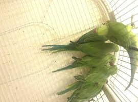 Ringneck parrots fo sale