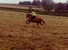 15hh+ horse wanted to buy or loan
