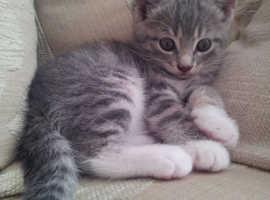 Wanted Female Kitten